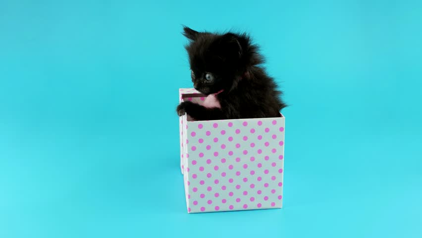 Funny black kitten trying to get out from gift box, ready to keying