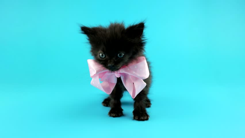 Cute little black cat with pink bow, standing and looks around, blue screen ready for chroma key