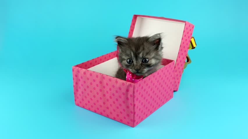 Pink gift box with surprise, cute little kitten with red bow, get out from the gift box, licks nose and looking around, on blue chroma key