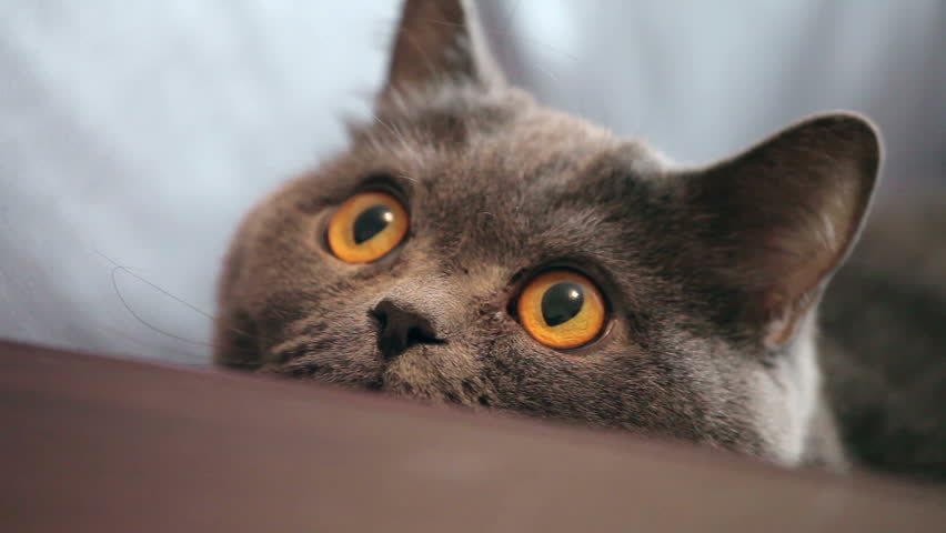 Cat With Big Orange Eyes Stock Footage Video 100 Royalty Free 25775714 Shutterstock