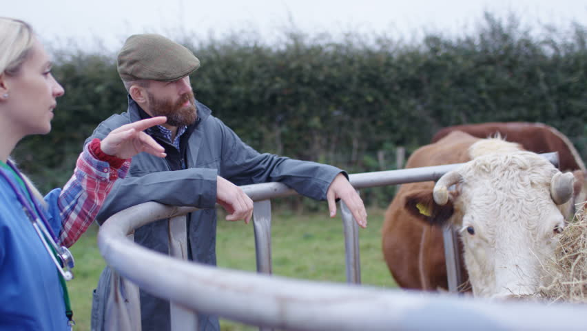 4K Farmer with vet checking on cattle herd in the field