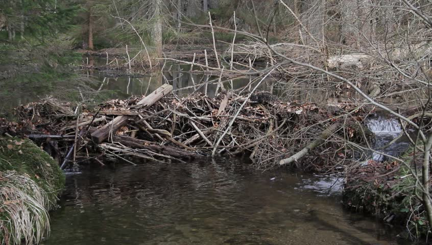 Beaver dam on a small river in Bavaria