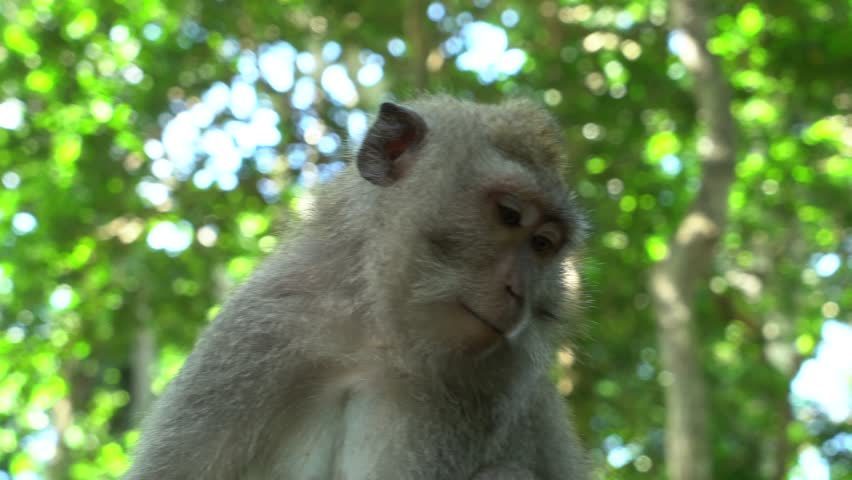 Monkey in Bali, Ubud, Indonesia | Shutterstock HD Video #25908704