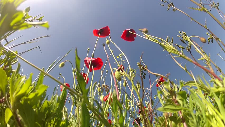 Red poppies on sky background | Shutterstock HD Video #2597456
