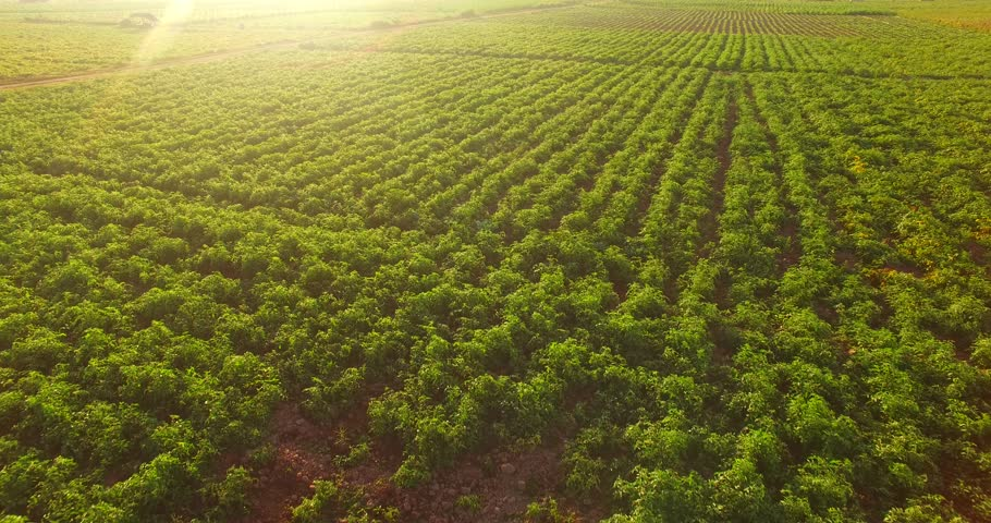 4K Aerial view of  plantation field in Thailand in the morning with sunlight.