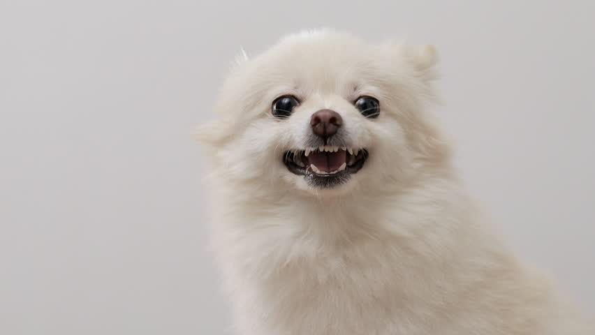 White Pomeranian feeling angry
