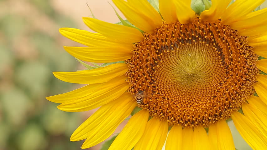 Close up of Bee on yellow blooming sunflower. | Shutterstock HD Video #26105459