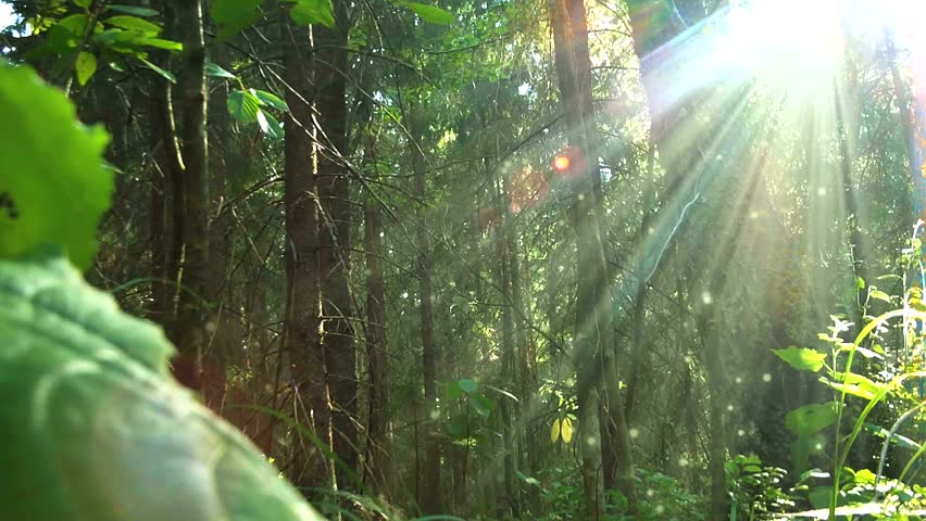 Sunset beams through trees in forest. With large particles | Shutterstock HD Video #2611928