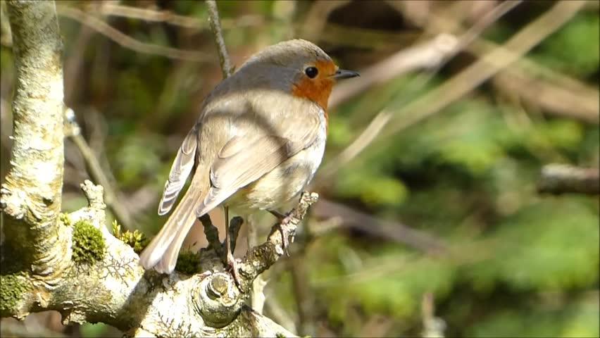 Robin on a tree branch | Shutterstock HD Video #26138792