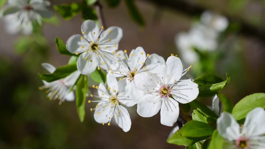 Close Up Of Cherry Blossom Macro Of Beautiful White Cherry Tree
