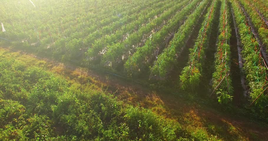 4K Aerial view of  tomato plantation field in Thailand in the morning with sunlight.