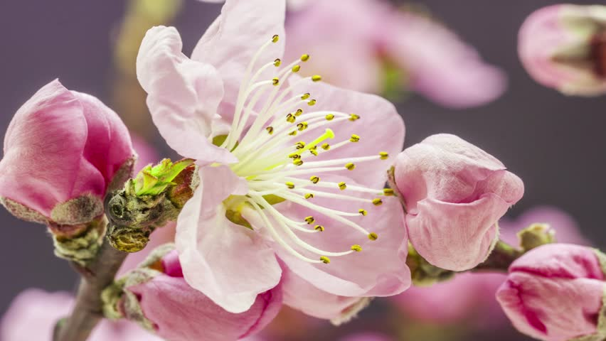 4K 29.97 fps macro time lapse video of a ping peach fruit tree flower growing and blossoming on a dark background/Pink peach flower blooming macro 4k time lapse