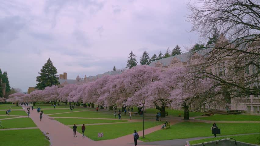 SEATTLE, WASHINGTON, UNITED STATES - APRIL 12, 2017: Beautiful pink trees. Cherry blossom, University of Washington, WA, USA. 4K, 3840*2160, high bit rate, UHD