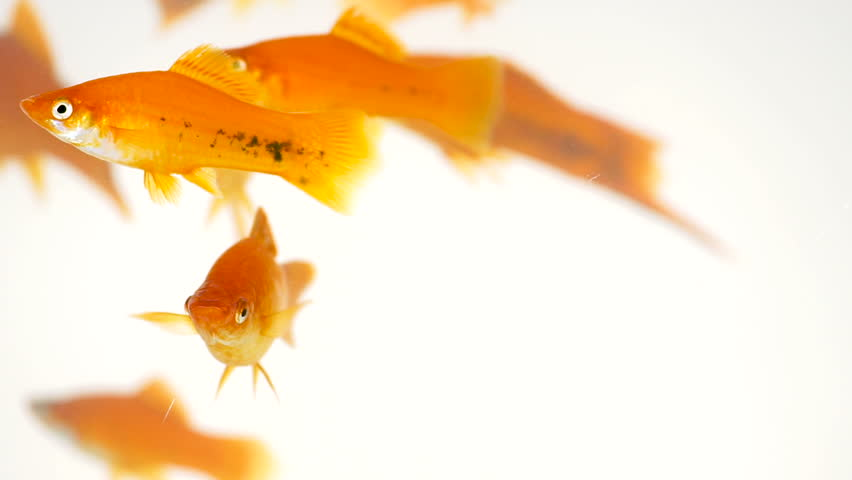 Many red swordtail fish swimming in fish tank on white background (Xiphophorus helleri) | Shutterstock HD Video #26273291