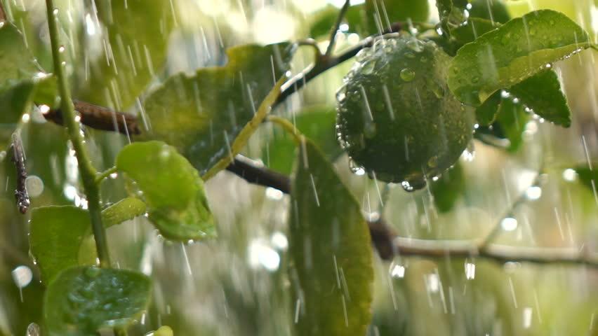 Falling rain in lemon plant Slow motion | Shutterstock HD Video #26284334