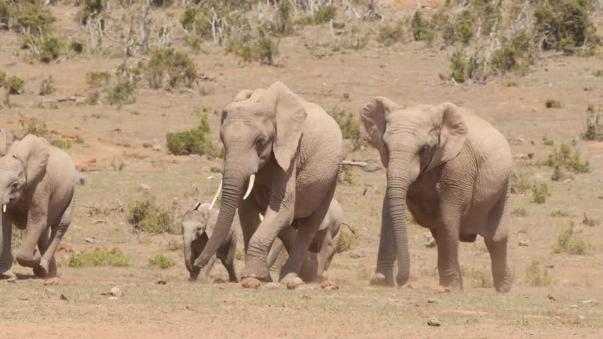 Thirsty elephants herd runs quickly to the waterhole, close    Shutterstock HD Video #26304281