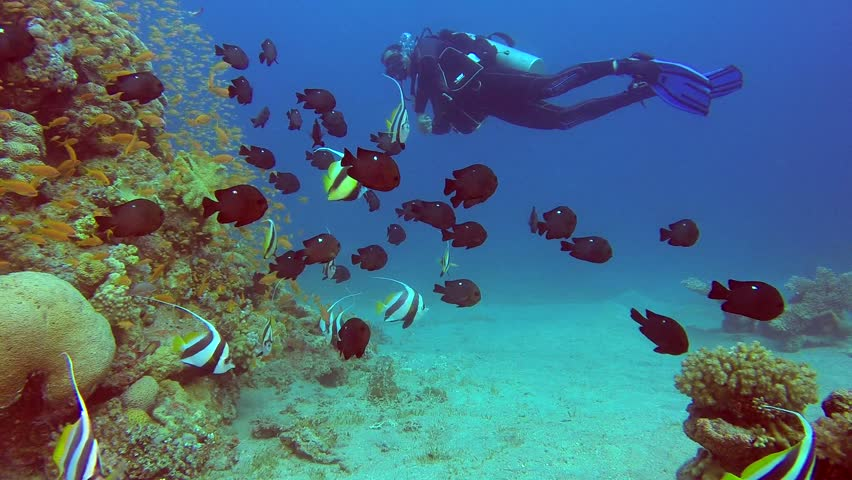 A Diver with Colorful Tropical Fishes. Picture of a diver with colorful fishes bannerfish, damselfish, scalefin anthias fish and corals in the tropical reef of the Red Sea, Dahab, Egypt.