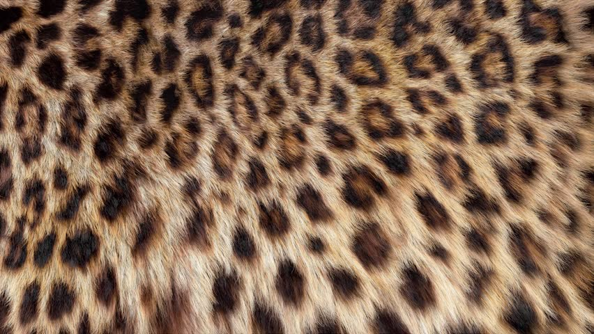Beautiful leopard fur blowing on the wind, luxury abstract natural animation, close up macro shot of animal hair in slow motion.
