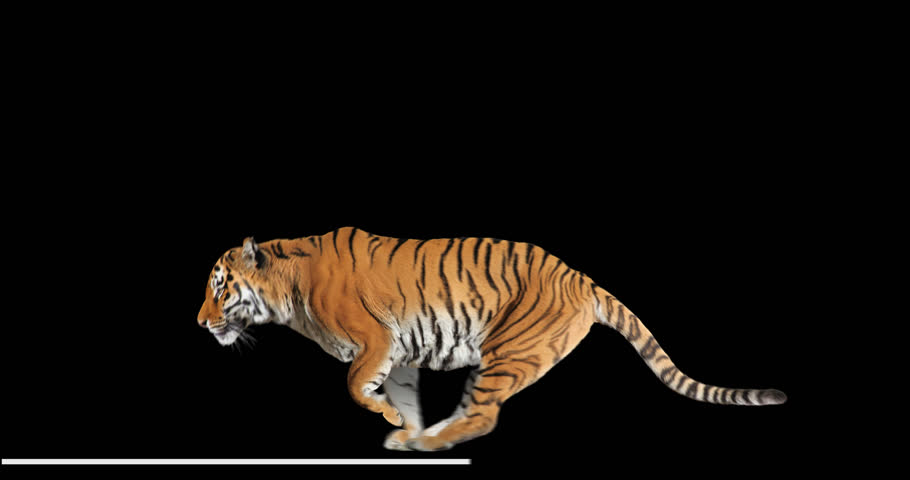 Tiger runs jumping. Animal isolated for your background. Alpha channel is included.