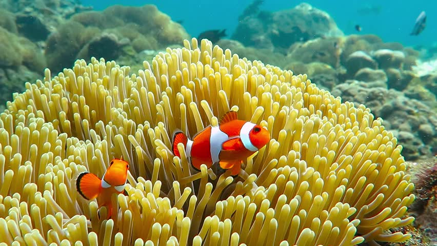 Nemo clown fish in the anemone on the colorful healthy coral reef. Anemonefish nemo couple swimming underwater. Scuba diving coral reef scene with nemo and anemone.