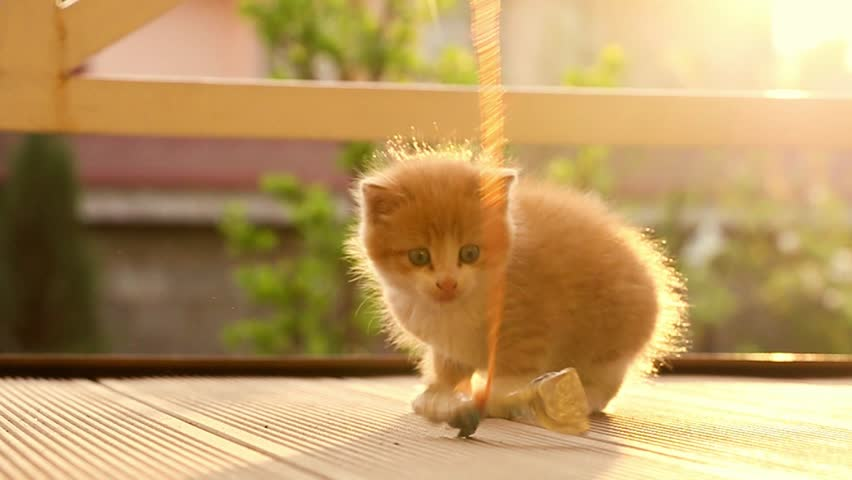 Funny ginger kitten trying to catch the toy slow motion
