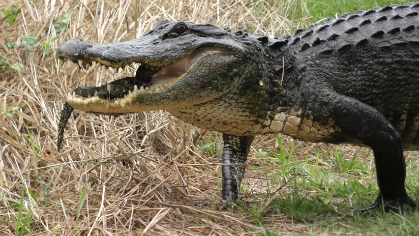 Alligator mother carrying her baby in the mouth