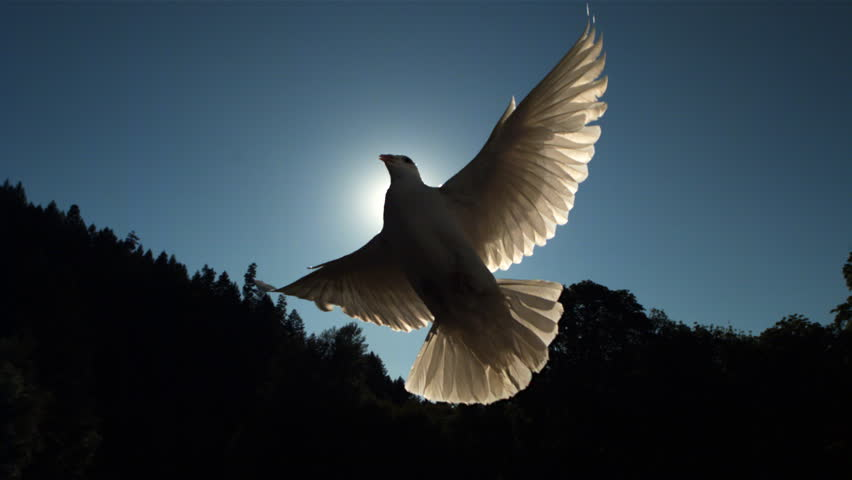 Sunbeams forming cross behind dove flying in ultra-slow motion across frame