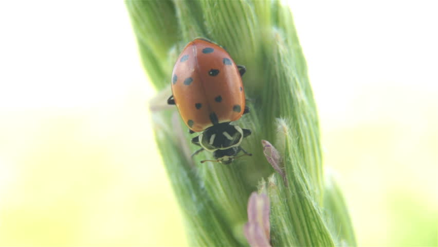 Lady bug eating corn stalk