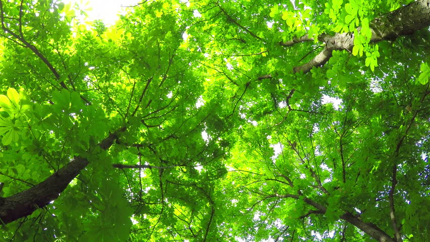 A Light Breeze in the Summer Deciduous Forest. Rotates. View from Below.  | Shutterstock HD Video #26760946