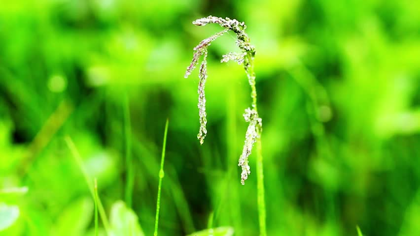 Fresh green grass background with water drops. Close up macro of plant. #26766718