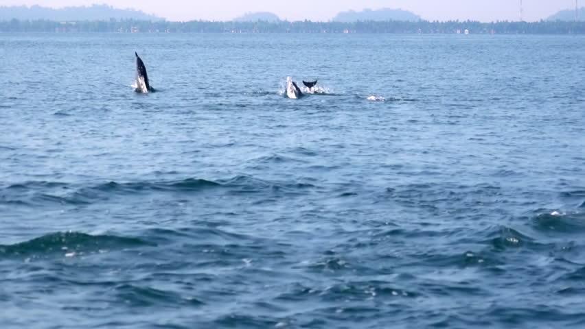Large pod of porpoising Long-Snouted or Spinner Dolphins (Stenella longirostris) chasing tuna fish. Amazing morning scene. Wild sea animals in natural habitat. Sri Lanka. Long shot. Slow motion. | Shutterstock HD Video #26767609