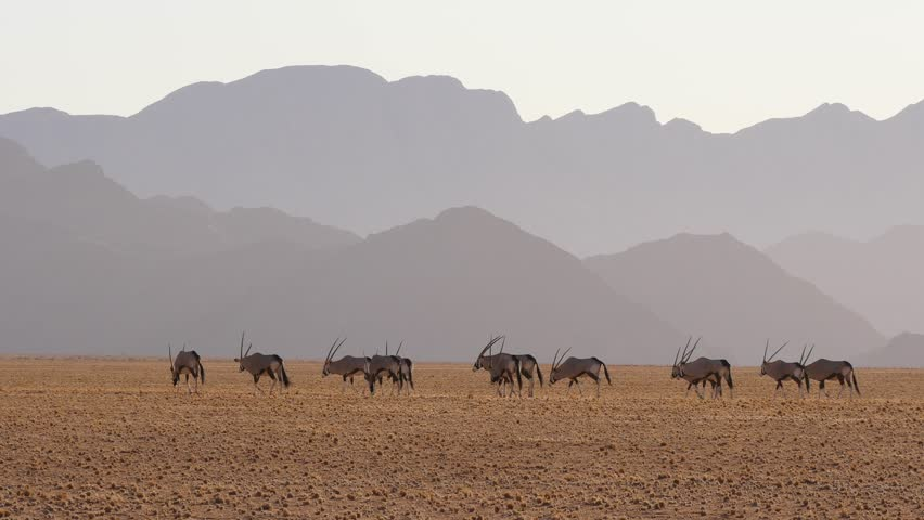 oryx grazing in the desert in front of hazy mountain chains