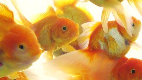 gold fish swimming in the aquarium on light background