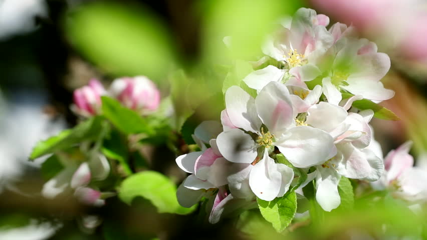 White flowers blossoms on apple tree | Shutterstock HD Video #26966563