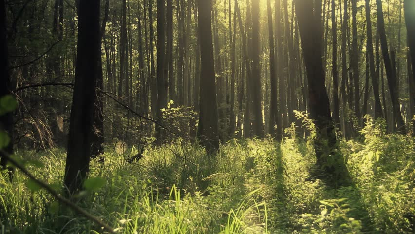 Full HD clip that shows morning in  beautiful wood, with old, great trees.  | Shutterstock HD Video #2696870