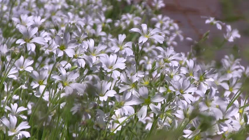 Plant of white wildflowers on wind at sunny summer day. | Shutterstock HD Video #26984887
