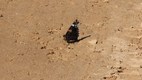 Red admiral (Pyrameis atalanta) butterfly sitting on dirt road, sucks water. Sharp wings spread out to attract marriage partner and scare predator