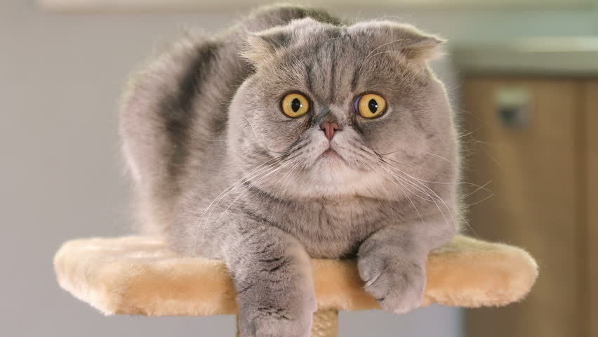 Animal portrait of Scottish Fold cat with a wide range of emotions  | Shutterstock HD Video #27050722