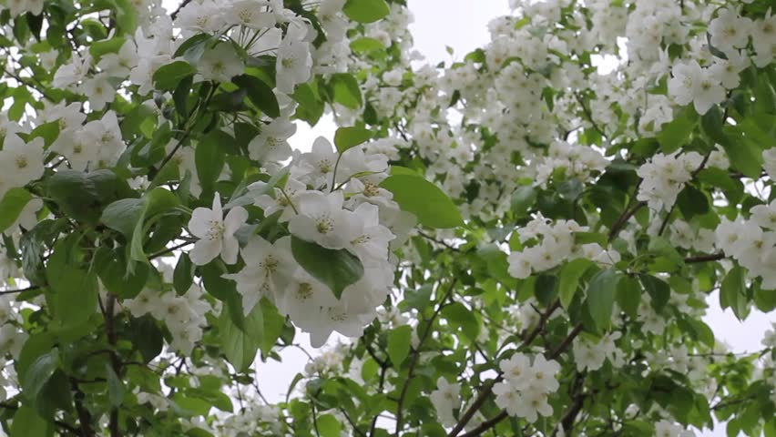 Branches Of Trees With Green Leaves And White Flowers The Wind