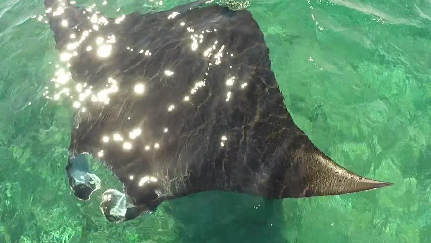 Elegant Manta ray in Labuan Bajo, East Nusa Tenggara, Indonesia | Shutterstock HD Video #27056962