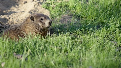 UHD An alert groundhog is startled and runs back into its hole