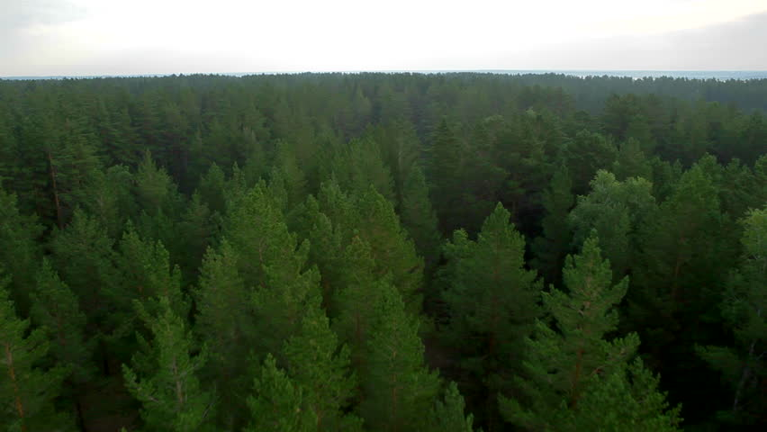 flight over beautiful evergreen forest