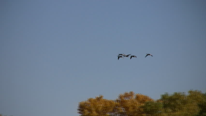 A small flock of  Canadian geese flying low above the cottonwood trees that line the Rio Grande River in Albuquerque, New Mexico, in full fall colors