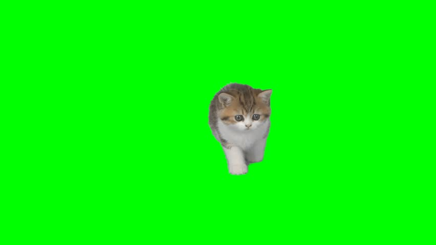4K Cat Kitten in a Looking Around with Cutie Face Chroma Key Background Green Screen Small #27191416