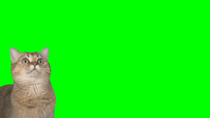 4K Cat Looking Around with Cutie Face Chroma Key Background Green Screen Scottish Straight #27191419