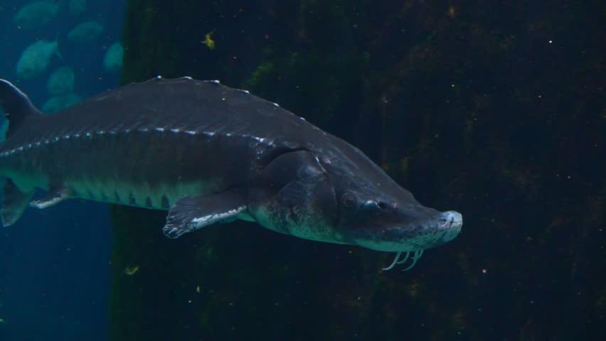 Cinematic Underwater Shot of Atlantic sturgeon (Scientific name: Acipenser oxyrinchus - Phylum: Chordata - Class: Osteichthyes (bony fish) - Order: Acipenseriformes - Family: Acipenseridae) | Shutterstock HD Video #27199171