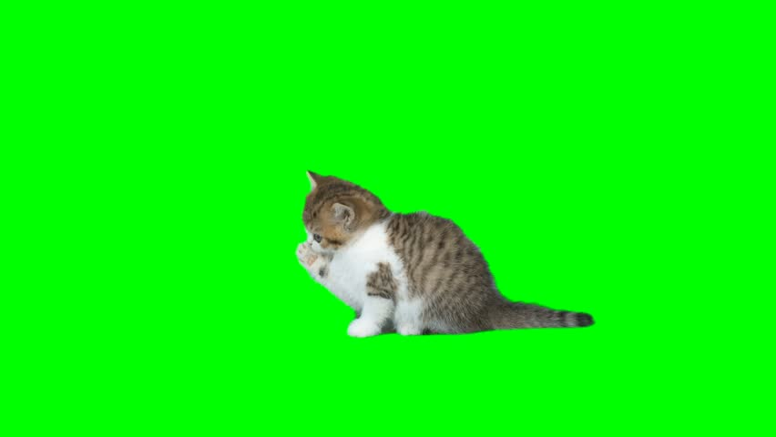 4K Little Kitten in Licks its Paws Looking Around with Cute Face Small Cat Chroma Key Background Green Screen Cutie Yellowish White  #27210856