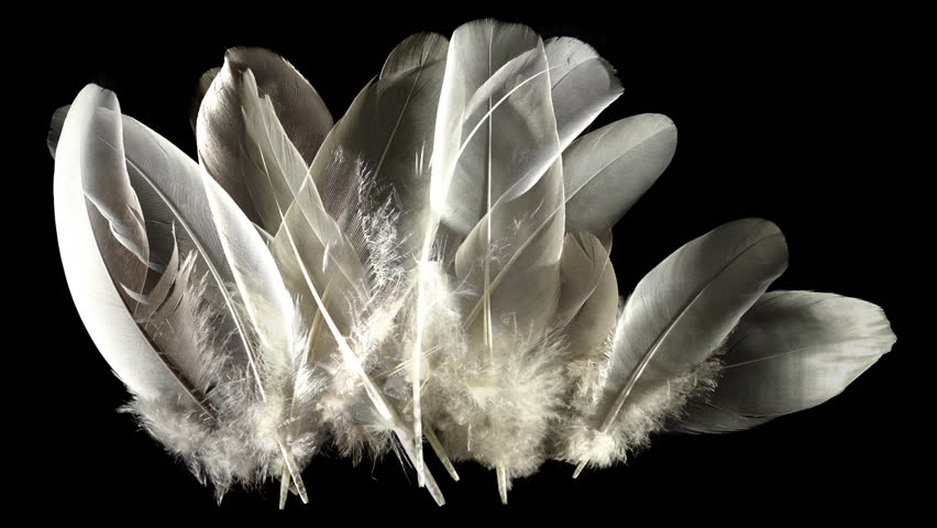 Animation composed with feathers isolated on black. Waft blowing on feather down trembling. | Shutterstock HD Video #27222877