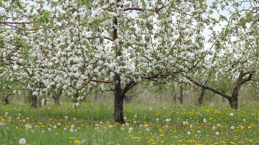 beautiful orchard with yelow dandelions