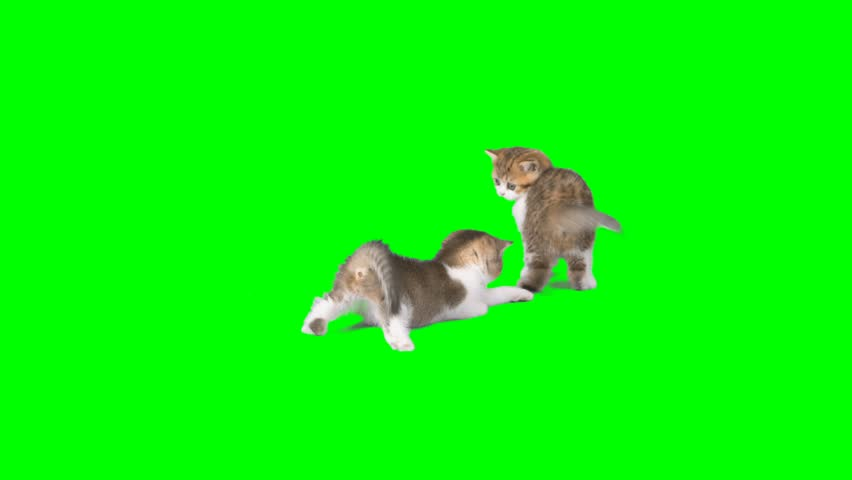 4K Two Little Kittens Playing with Each Other Wrestling Small Cats on the Ground Green Screen Chroma Key Background Cutie Ones Brawling